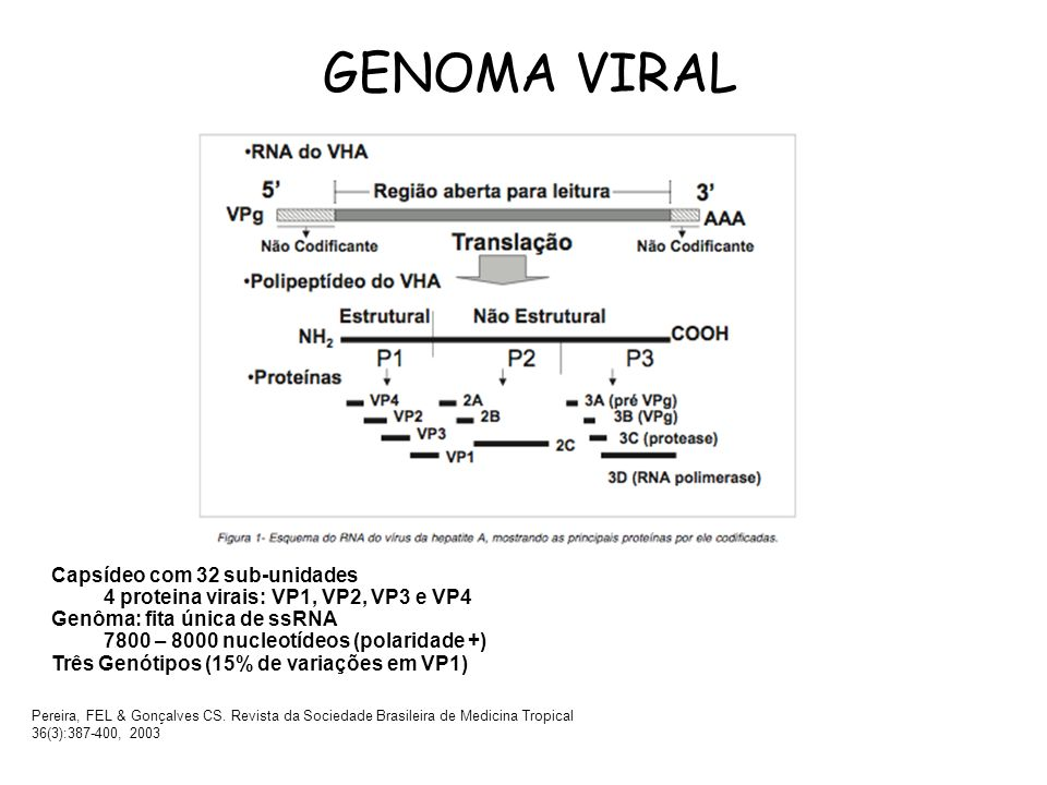 GENOMA VIRAL Pereira, FEL & Gonçalves CS. Revista da Sociedade Brasileira de Medicina Tropical 36(3):387-400, 2003 Capsídeo com 32 sub-unidades 4 prot