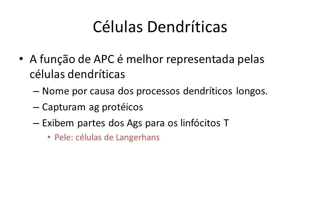 Células Dendríticas A função de APC é melhor representada pelas células dendríticas – Nome por causa dos processos dendríticos longos. – Capturam ag p