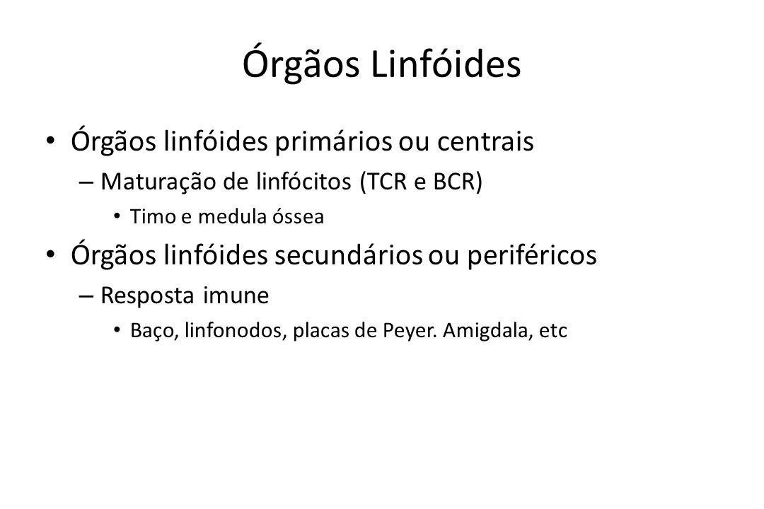 Órgãos Linfóides Órgãos linfóides primários ou centrais – Maturação de linfócitos (TCR e BCR) Timo e medula óssea Órgãos linfóides secundários ou peri
