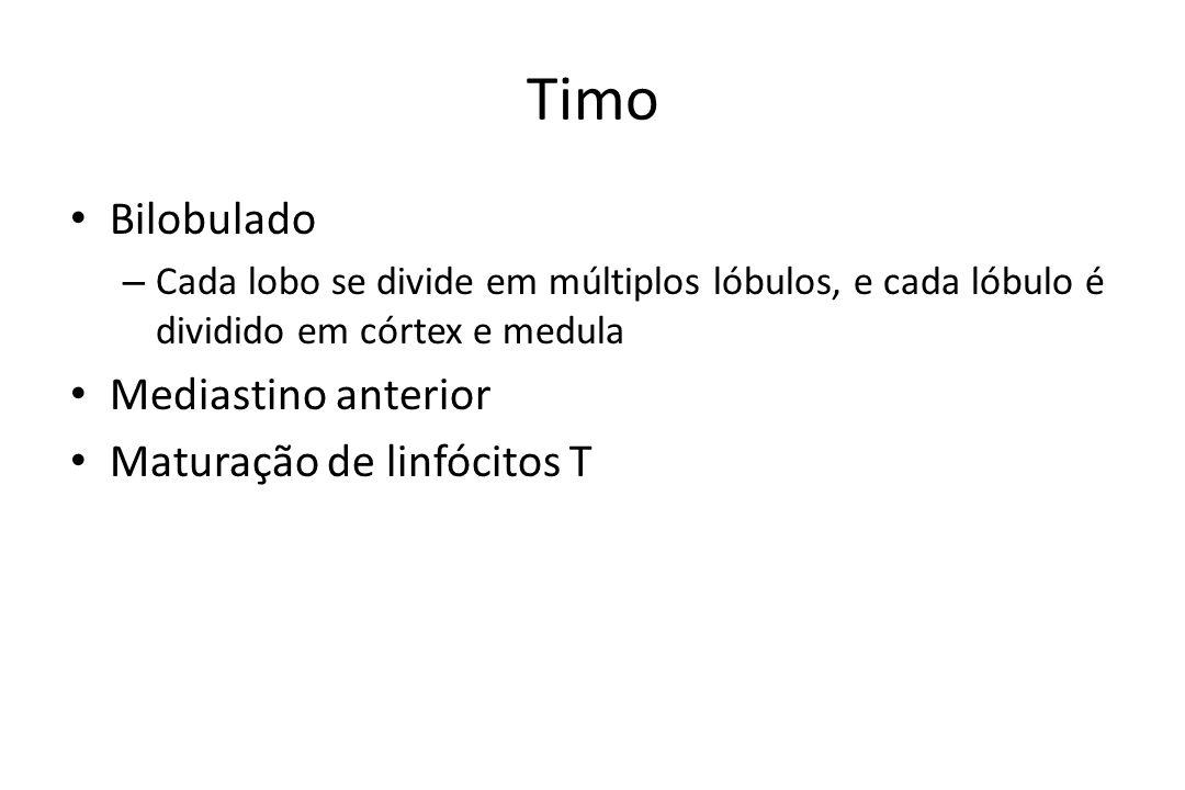 Timo Bilobulado – Cada lobo se divide em múltiplos lóbulos, e cada lóbulo é dividido em córtex e medula Mediastino anterior Maturação de linfócitos T