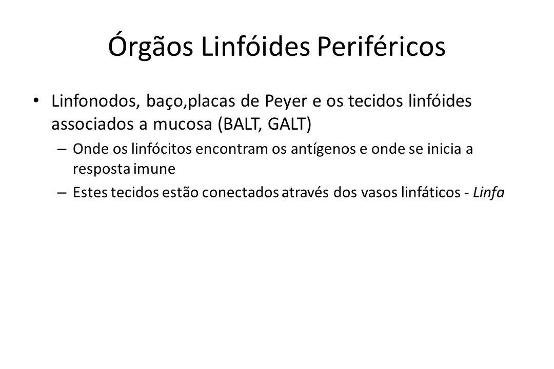 Órgãos Linfóides Periféricos Linfonodos, baço,placas de Peyer e os tecidos linfóides associados a mucosa (BALT, GALT) – Onde os linfócitos encontram o