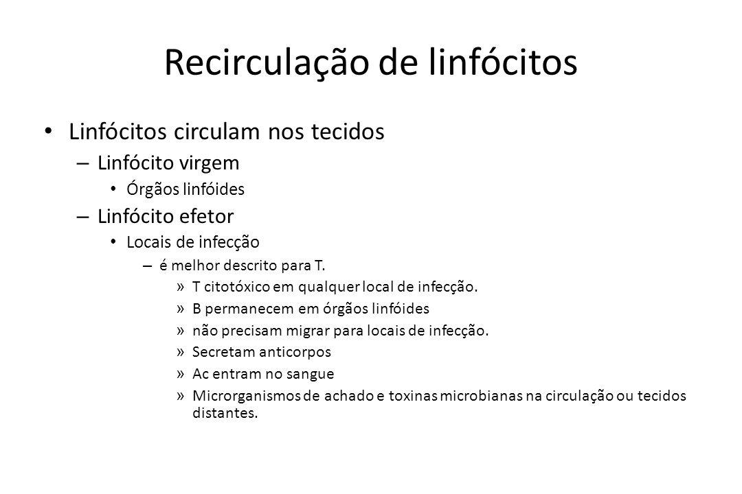 Recirculação de linfócitos Linfócitos circulam nos tecidos – Linfócito virgem Órgãos linfóides – Linfócito efetor Locais de infecção – é melhor descri