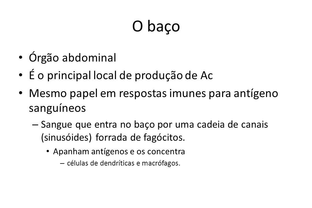 O baço Órgão abdominal É o principal local de produção de Ac Mesmo papel em respostas imunes para antígeno sanguíneos – Sangue que entra no baço por u