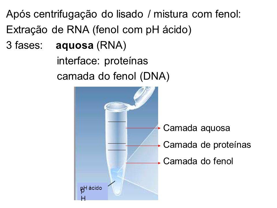 Após centrifugação do lisado / mistura com fenol: Extração de RNA (fenol com pH ácido) 3 fases: aquosa (RNA) interface: proteínas camada do fenol (DNA