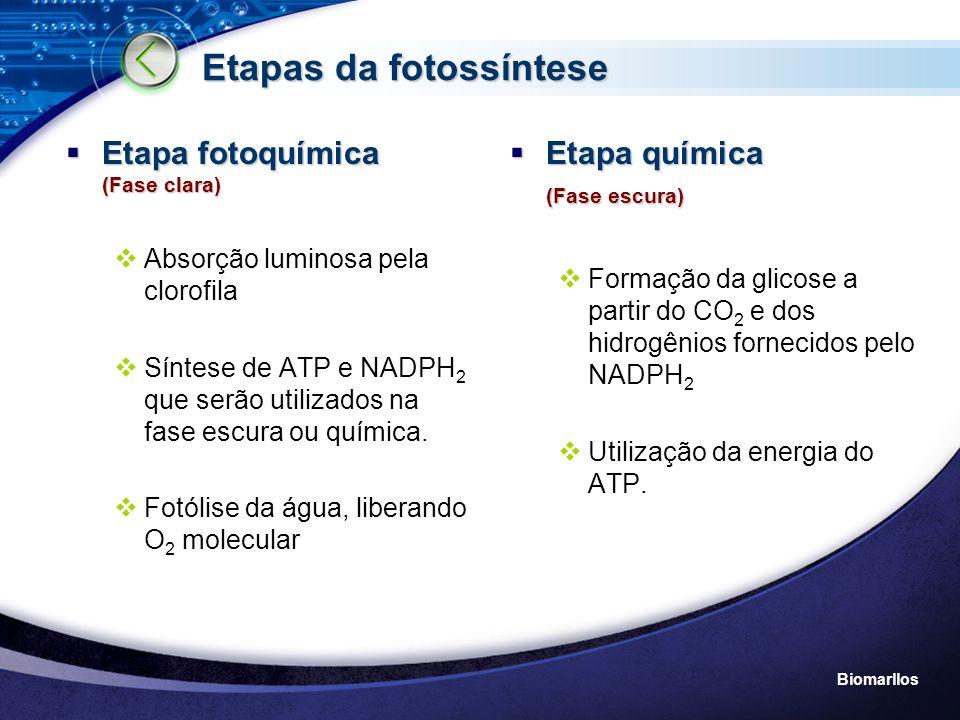 Biomarllos FASE CLARA- Fotoquímica P680 + Fotossistema II Plastoquinona P700 Fotossistema I 2e - Ferrodoxina ADP ATP H2OH2O 2H + ½ O 2 Fotólise NADP NADPH 2 2e - 2H + L U Z 2e - As hidroxilas provenientes da fotólise da água são reorganizadas em Água e oxigênio e liberados...