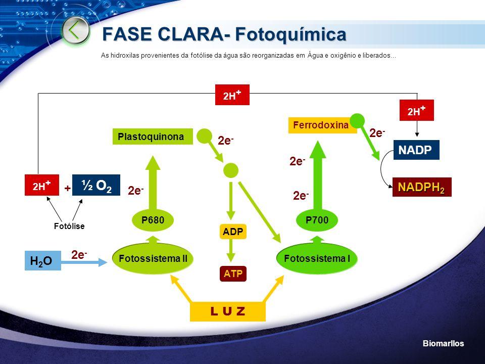 Biomarllos FASE CLARA- Fotoquímica P680 + Fotossistema II Plastoquinona P700 Fotossistema I 2e - Ferrodoxina ADP ATP H2OH2O 2H + ½ O 2 Fotólise NADP N