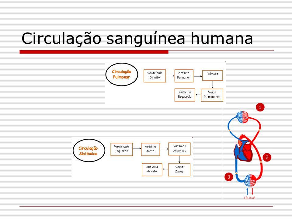 Circulação sanguínea humana