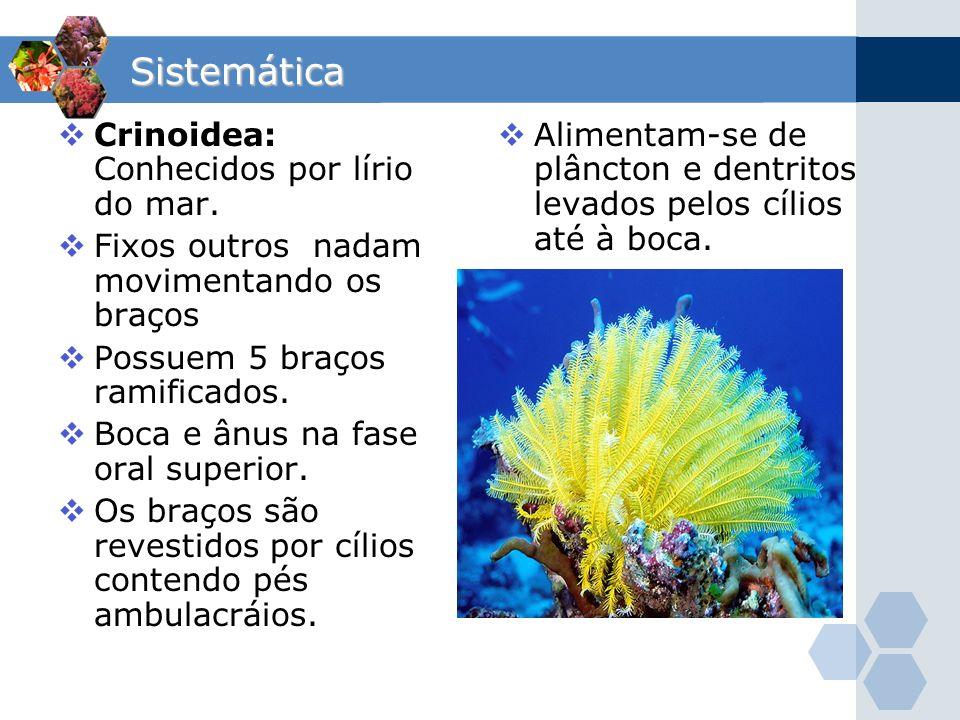 Sistemática Crinoidea: Conhecidos por lírio do mar. Fixos outros nadam movimentando os braços Possuem 5 braços ramificados. Boca e ânus na fase oral s