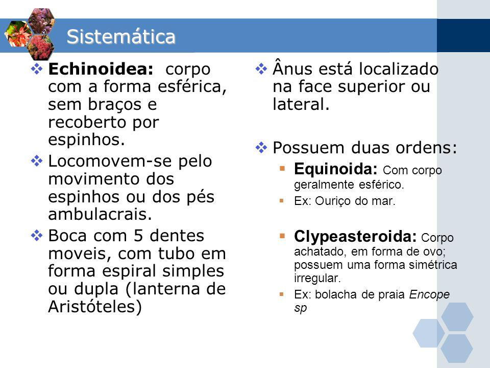 Sistemática Echinoidea: corpo com a forma esférica, sem braços e recoberto por espinhos. Locomovem-se pelo movimento dos espinhos ou dos pés ambulacra