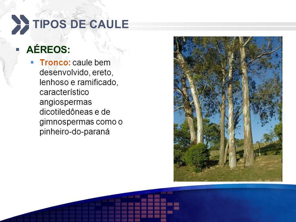 TIPOS DE CAULE AÉREOS: Tronco: caule bem desenvolvido, ereto, lenhoso e ramificado, característico angiospermas dicotiledôneas e de gimnospermas como