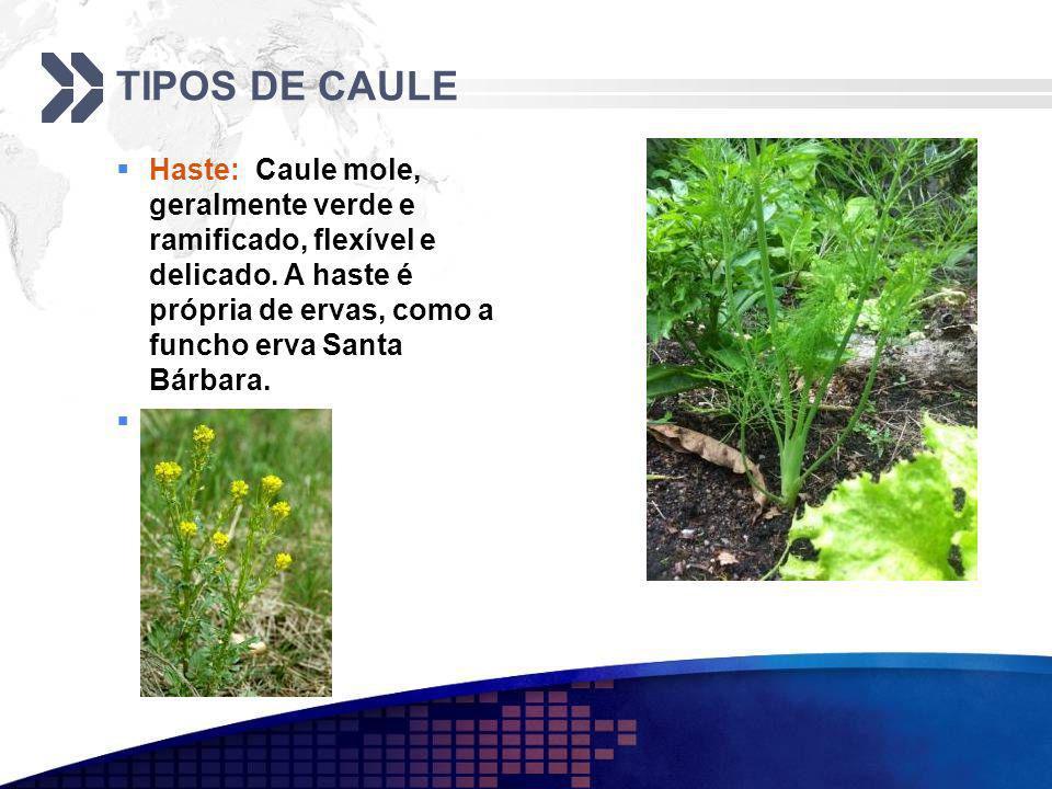 TIPOS DE CAULE Haste: Caule mole, geralmente verde e ramificado, flexível e delicado. A haste é própria de ervas, como a funcho erva Santa Bárbara.
