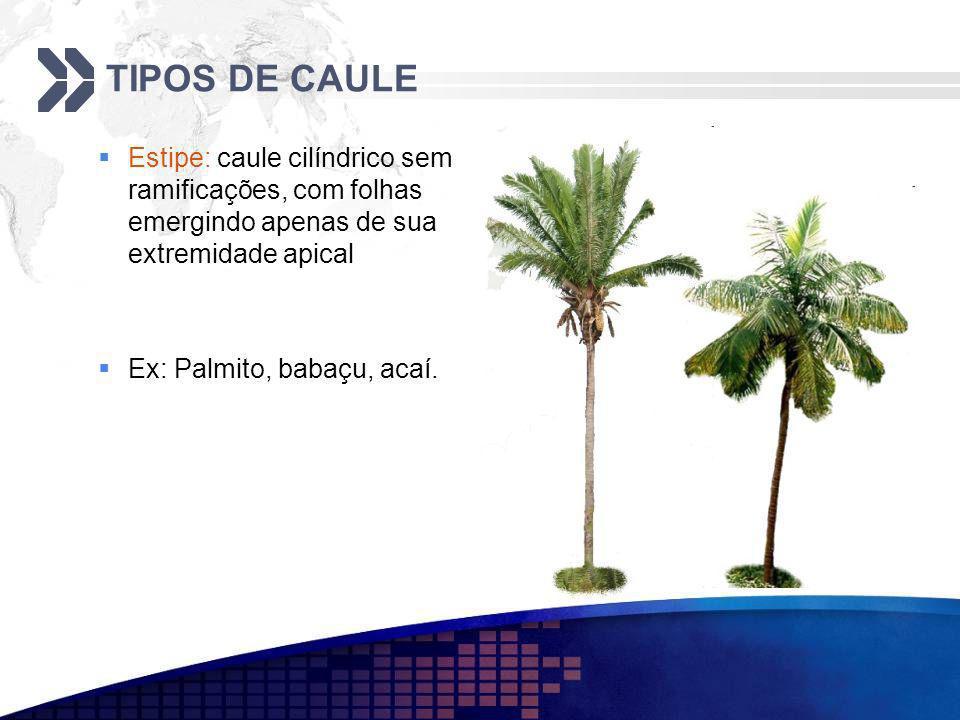 TIPOS DE CAULE Estipe: caule cilíndrico sem ramificações, com folhas emergindo apenas de sua extremidade apical Ex: Palmito, babaçu, acaí.