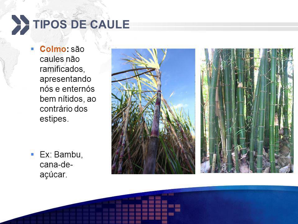 TIPOS DE CAULE Colmo: são caules não ramificados, apresentando nós e enternós bem nítidos, ao contrário dos estipes. Ex: Bambu, cana-de- açúcar.