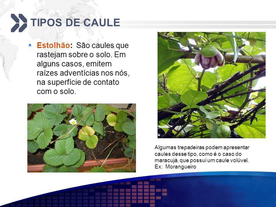 TIPOS DE CAULE Estolhão: São caules que rastejam sobre o solo. Em alguns casos, emitem raízes adventícias nos nós, na superfície de contato com o solo