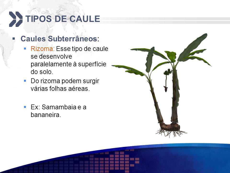 TIPOS DE CAULE Caules Subterrâneos: Rizoma: Esse tipo de caule se desenvolve paralelamente à superfície do solo. Do rizoma podem surgir várias folhas