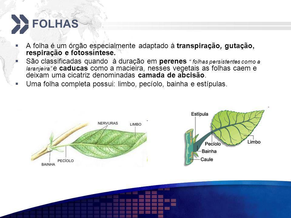 FOLHAS A folha é um órgão especialmente adaptado à transpiração, gutação, respiração e fotossíntese. São classificadas quando à duração em perenes fol