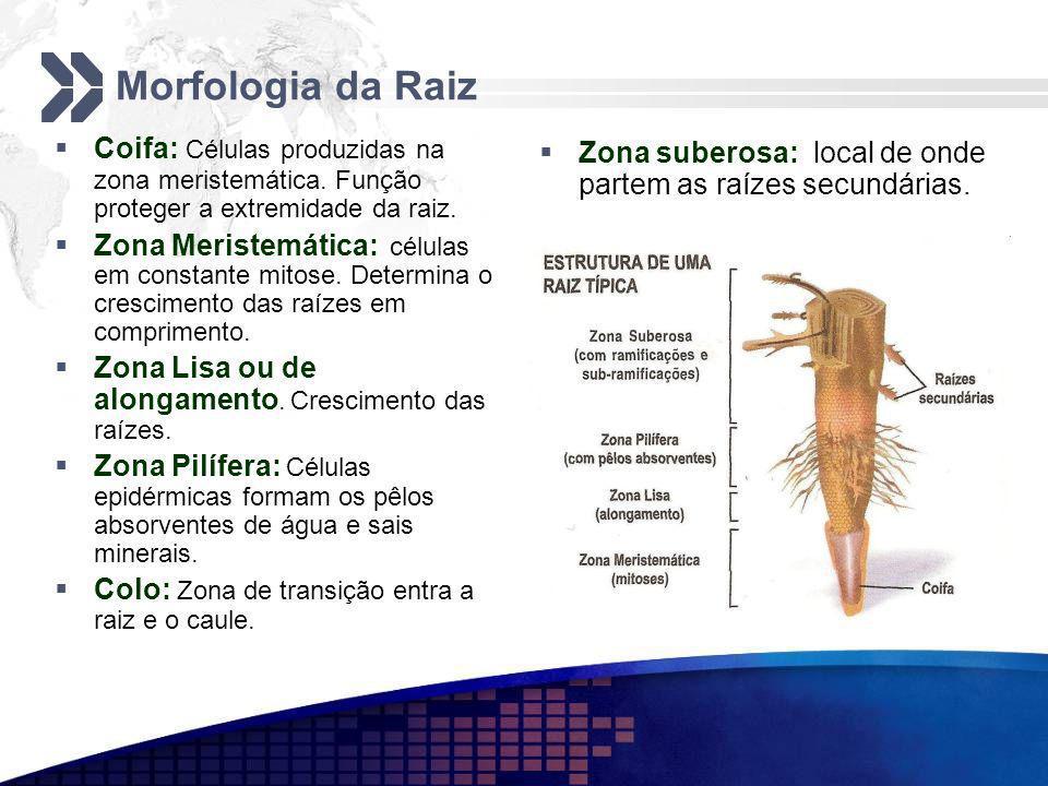 Morfologia da Raiz Coifa: Células produzidas na zona meristemática. Função proteger a extremidade da raiz. Zona Meristemática: células em constante mi
