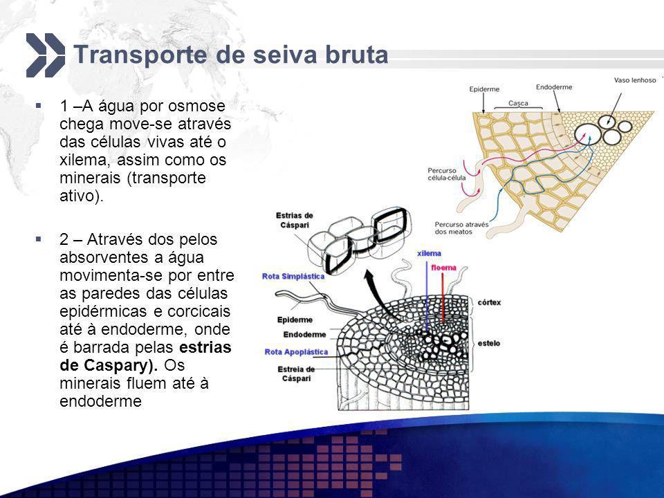 Transporte de seiva bruta 1 –A água por osmose chega move-se através das células vivas até o xilema, assim como os minerais (transporte ativo). 2 – At