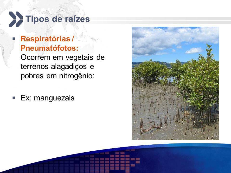 Tipos de raízes Respiratórias / Pneumatófotos: Ocorrem em vegetais de terrenos alagadiços e pobres em nitrogênio: Ex: manguezais