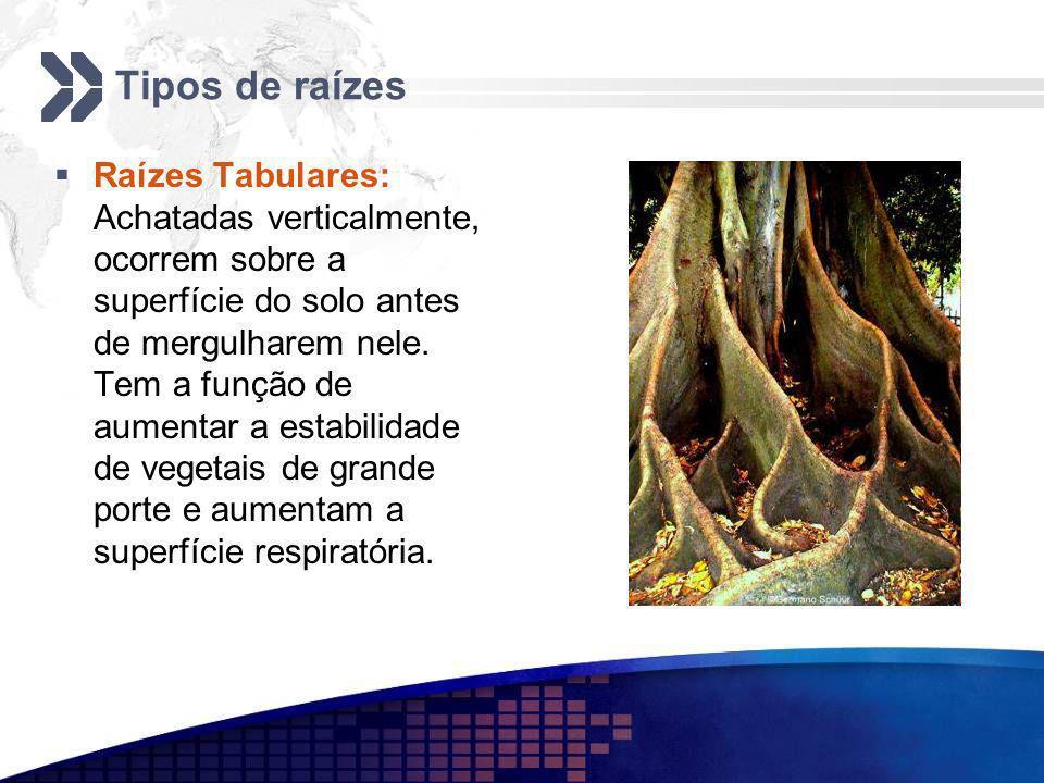 Tipos de raízes Raízes Tabulares: Achatadas verticalmente, ocorrem sobre a superfície do solo antes de mergulharem nele. Tem a função de aumentar a es