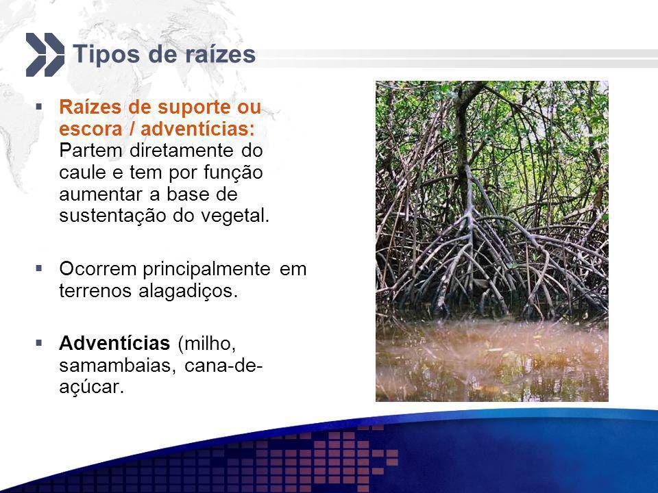 Tipos de raízes Raízes de suporte ou escora / adventícias: Partem diretamente do caule e tem por função aumentar a base de sustentação do vegetal. Oco