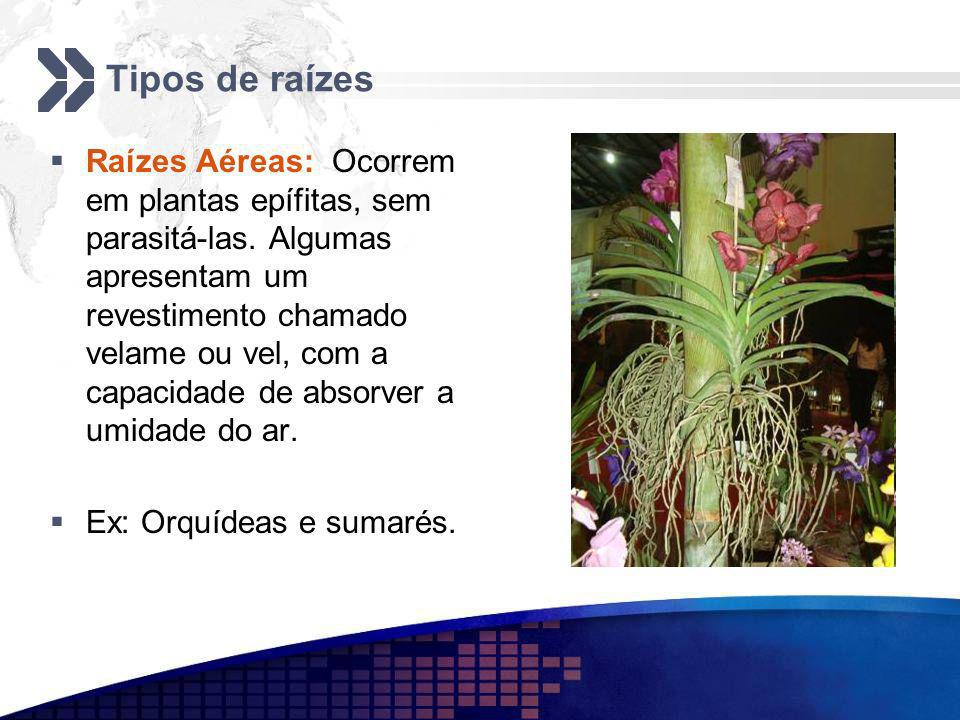Tipos de raízes Raízes Aéreas: Ocorrem em plantas epífitas, sem parasitá-las. Algumas apresentam um revestimento chamado velame ou vel, com a capacida