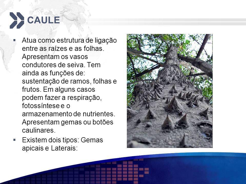 CAULE Atua como estrutura de ligação entre as raízes e as folhas. Apresentam os vasos condutores de seiva. Tem ainda as funções de: sustentação de ram