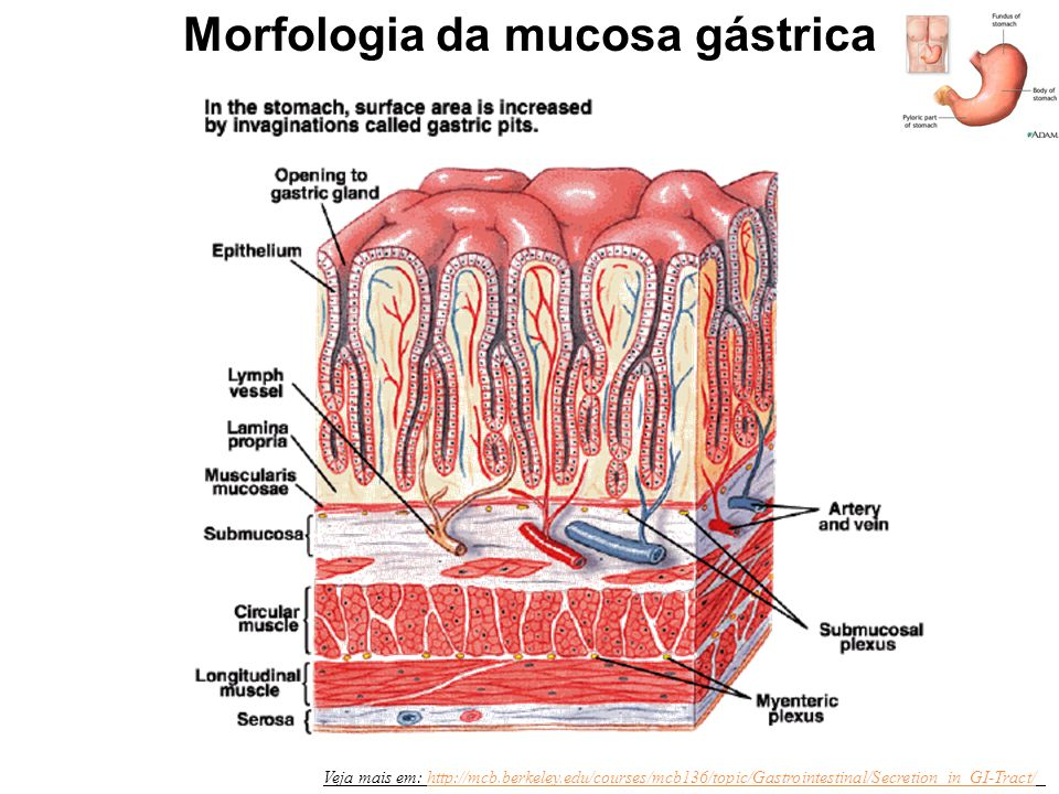 Veja mais em: http://mcb.berkeley.edu/courses/mcb136/topic/Gastrointestinal/Secretion_in_GI-Tract/http://mcb.berkeley.edu/courses/mcb136/topic/Gastrointestinal/Secretion_in_GI-Tract/ Morfologia da mucosa gástrica