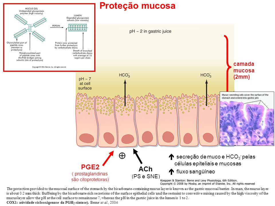  secreção de muco e HCO 3 - pelas células epiteliais e mucosas  fluxo sangüíneo  camada mucosa (2mm) Proteção mucosa PGE2 ( prostaglandinas são citoprotetoras) ACh (PS e SNE) The protection provided to the mucosal surface of the stomach by the bicarbonate-containing mucus layer is known as the gastric mucosal barrier.