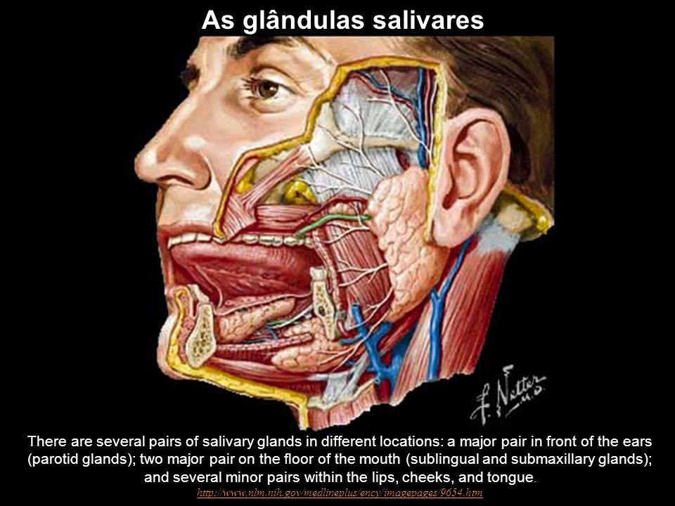There are several pairs of salivary glands in different locations: a major pair in front of the ears (parotid glands); two major pair on the floor of the mouth (sublingual and submaxillary glands); and several minor pairs within the lips, cheeks, and tongue.