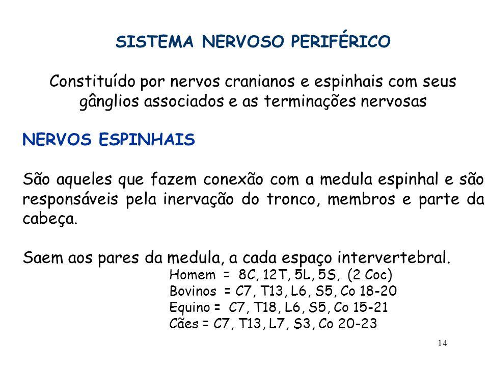 14 SISTEMA NERVOSO PERIFÉRICO Constituído por nervos cranianos e espinhais com seus gânglios associados e as terminações nervosas NERVOS ESPINHAIS São