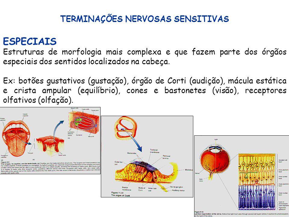 18 TERMINAÇÕES NERVOSAS SENSITIVAS ESPECIAIS Estruturas de morfologia mais complexa e que fazem parte dos órgãos especiais dos sentidos localizados na