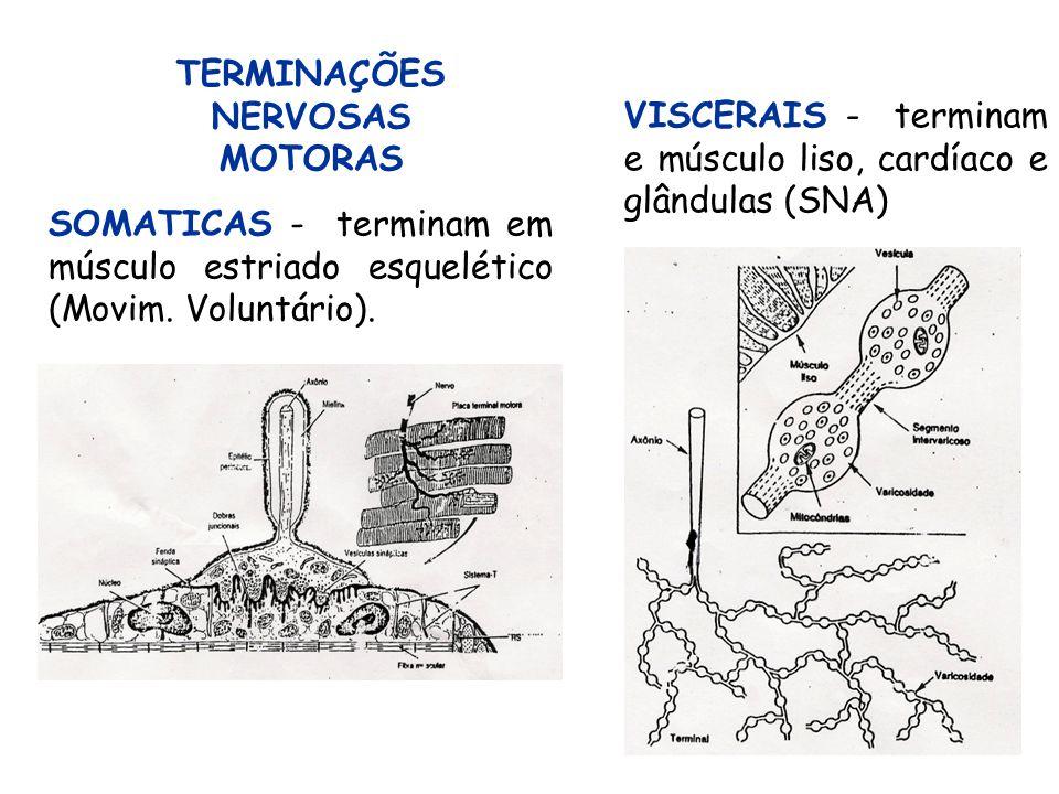 19 SOMATICAS - terminam em músculo estriado esquelético (Movim. Voluntário). TERMINAÇÕES NERVOSAS MOTORAS VISCERAIS - terminam e músculo liso, cardíac