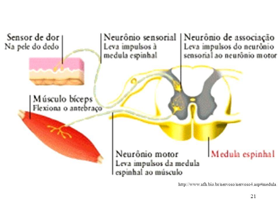 21 http://www.afh.bio.br/nervoso/nervoso4.asp#medula