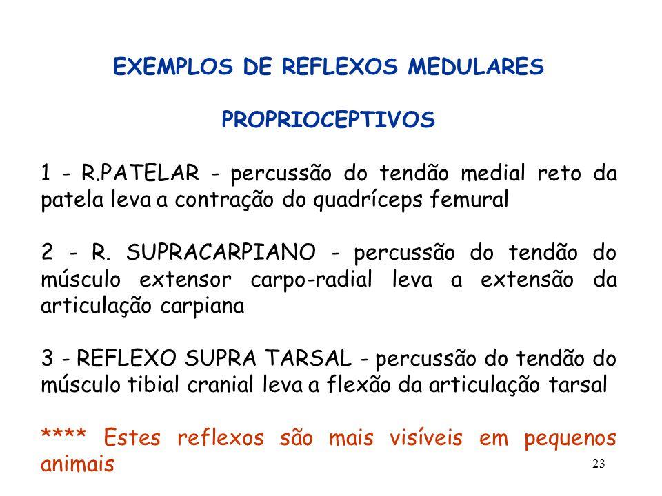 23 EXEMPLOS DE REFLEXOS MEDULARES PROPRIOCEPTIVOS 1 - R.PATELAR - percussão do tendão medial reto da patela leva a contração do quadríceps femural 2 -