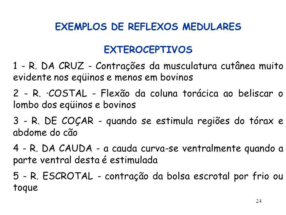 24 EXEMPLOS DE REFLEXOS MEDULARES EXTEROCEPTIVOS 1 - R. DA CRUZ - Contrações da musculatura cutânea muito evidente nos eqüinos e menos em bovinos 2 -