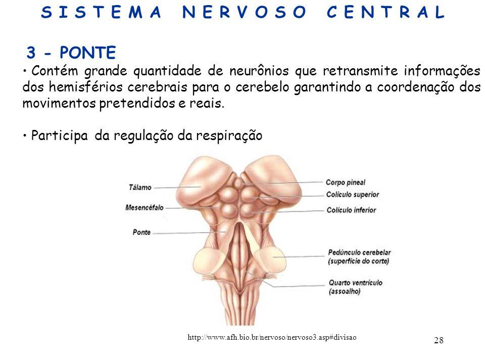 28 3 - PONTE Contém grande quantidade de neurônios que retransmite informações dos hemisférios cerebrais para o cerebelo garantindo a coordenação dos