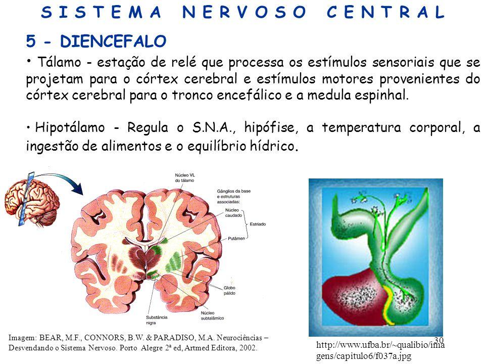 30 5 - DIENCEFALO Tálamo - estação de relé que processa os estímulos sensoriais que se projetam para o córtex cerebral e estímulos motores proveniente