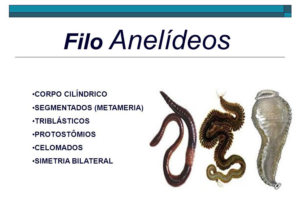 Filo Anelídeos CORPO CILÍNDRICO SEGMENTADOS (METAMERIA) TRIBLÁSTICOS PROTOSTÔMIOS CELOMADOS SIMETRIA BILATERAL
