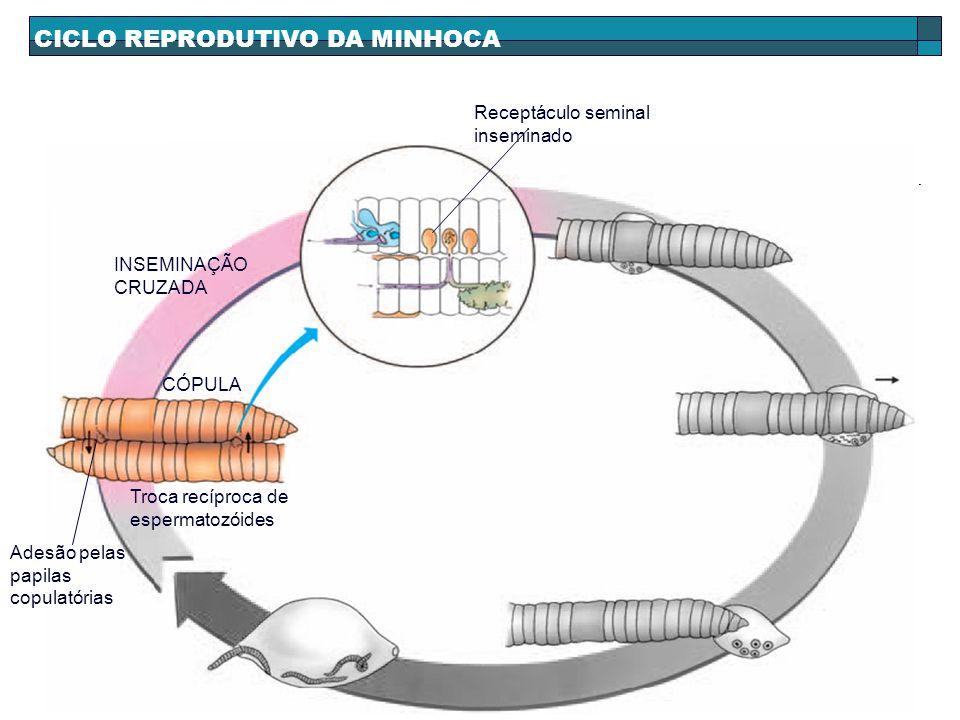 CICLO REPRODUTIVO DA MINHOCA INSEMINAÇÃO CRUZADA Receptáculo seminal inseminado CÓPULA Adesão pelas papilas copulatórias Troca recíproca de espermatoz