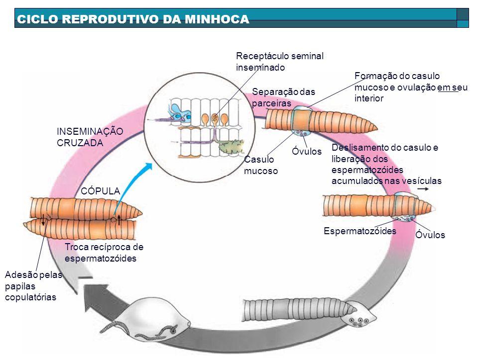 CICLO REPRODUTIVO DA MINHOCA INSEMINAÇÃO CRUZADA Receptáculo seminal inseminado Separação das parceiras Formação do casulo mucoso e ovulação em seu in