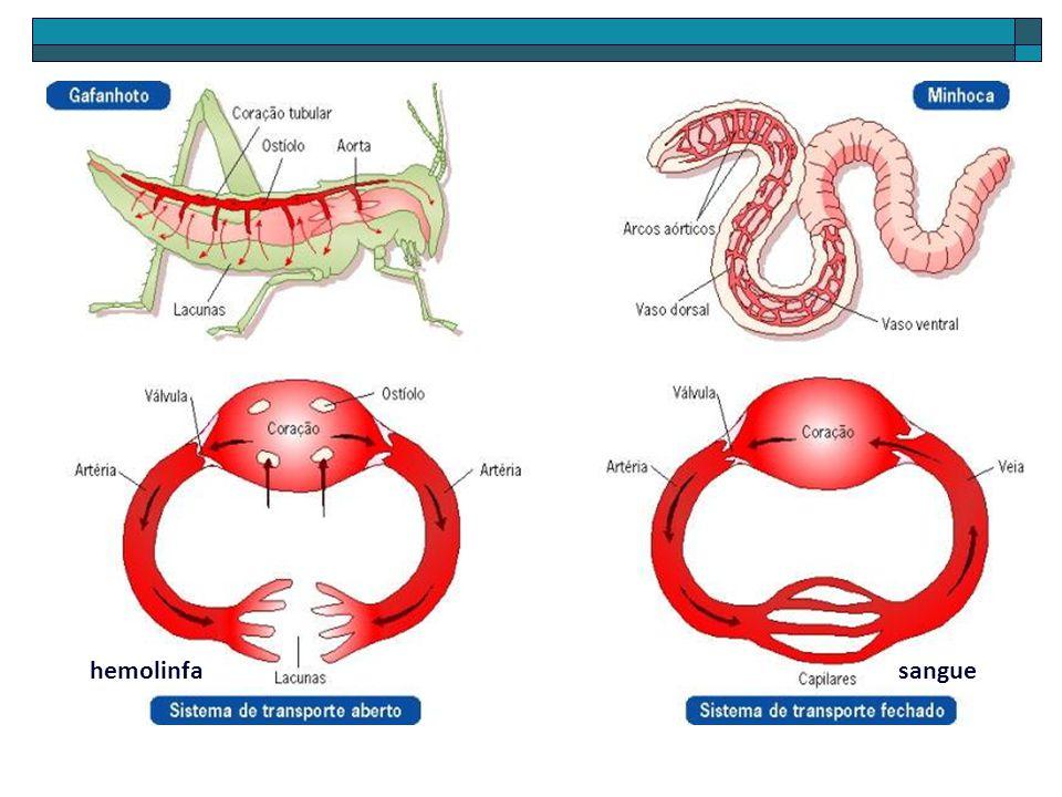 CICLO REPRODUTIVO DA MINHOCA INSEMINAÇÃO CRUZADA Receptáculo seminal inseminado Separação das parceiras Formação do casulo mucoso e ovulação em seu interior Deslisamento do casulo e liberação dos espermatozóides acumulados nas vesículas Casulo mucoso Óvulos Espermatozóides Óvulos FECUNDAÇÃO EXTERNA Libertação do casulo com ovos Casulo Ovos DESEMVOLVIMENTO EMBRIONÁRIO Casulo Minhocas jovens CÓPULA Adesão pelas papilas copulatórias Troca recíproca de espermatozóides