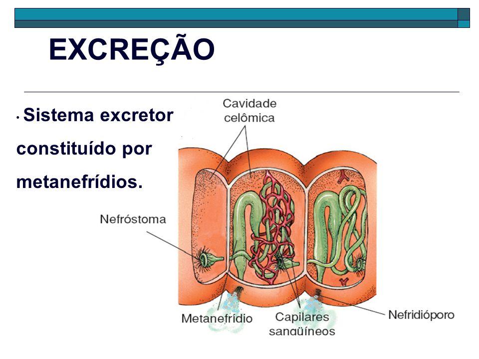 CLASSES DOS ANELÍDEOS - -Oligoquetas (Oligochaeta) - Poliquetas (Polychaetas) - Hirudíneos (Hirudinea ou Aquetas) oligoqueta poliqueta hirudíneo