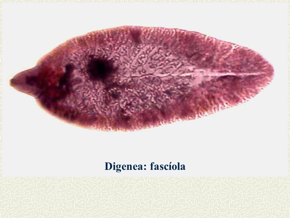 Digenea: Schistosoma mansoni