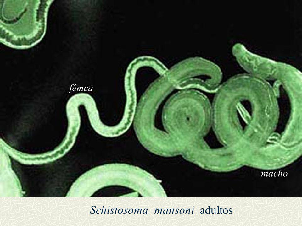 Subclasse Digenea – Reprodução Sistema reprodutivo similar aos Neoophora (Turbellaria) Contudo, 10 a 100 mil vezes mais produtivo Ovos ectolécitos (como em Neoophora) Hermafroditas (vasta maioria) Ciclos de vida variados Schistosoma spp.: 300 milhões infectados com ao menos uma das cinco spp.