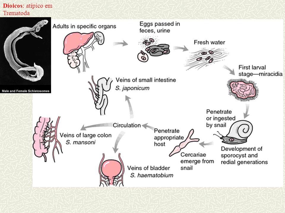 Sinais de penetração da cercária de Schistosoma (cercária fica até 2 dias na pele)