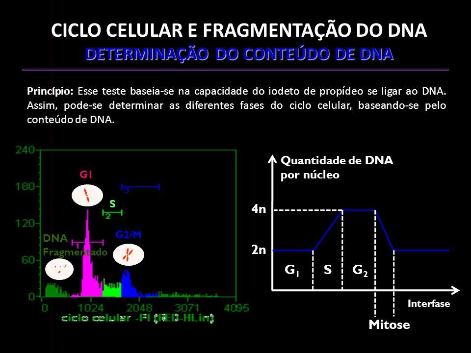 CICLO CELULAR E FRAGMENTAÇÃO DO DNA DETERMINAÇÃO DO CONTEÚDO DE DNA Princípio: Esse teste baseia-se na capacidade do iodeto de propídeo se ligar ao DN