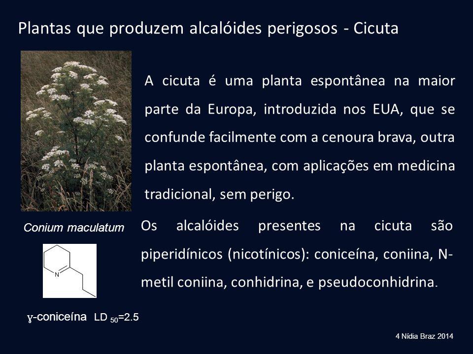 Plantas que produzem alcalóides perigosos - Cicuta Conium maculatum Os alcalóides presentes na cicuta são piperidínicos (nicotínicos): coniceína, coni
