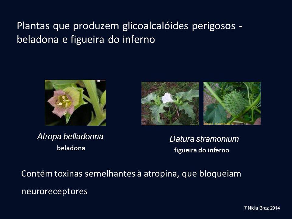 Plantas que produzem glicoalcalóides perigosos - beladona e figueira do inferno Atropa belladonna Datura stramonium Contém toxinas semelhantes à atrop