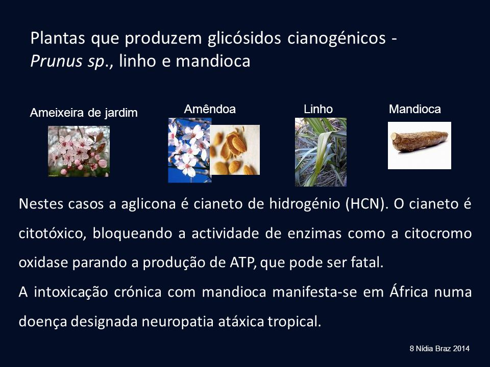 Plantas que produzem glicósidos cianogénicos - Prunus sp., linho e mandioca Ameixeira de jardim AmêndoaLinhoMandioca Nestes casos a aglicona é cianeto